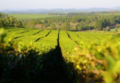 Misiones, protagonista en el inicio de la cosecha de té en Argentina